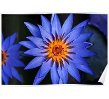 deep blue waterlily Poster