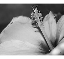 Hibiscus In Black And White Photographic Print