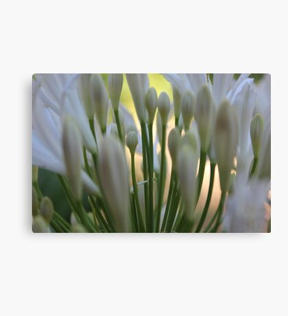 Peaceful agapanthus plant soft blur Canvas Print