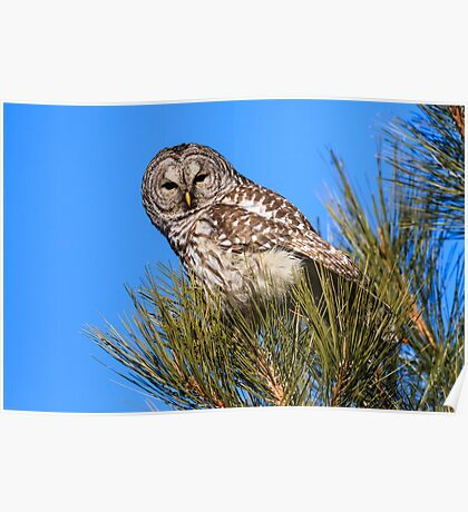 Barred Owl: Too Bright Poster