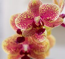 Orchid Flowers Phalaenopsis by guinapora