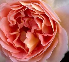 Inside Perfect Pink Rose by gloriart