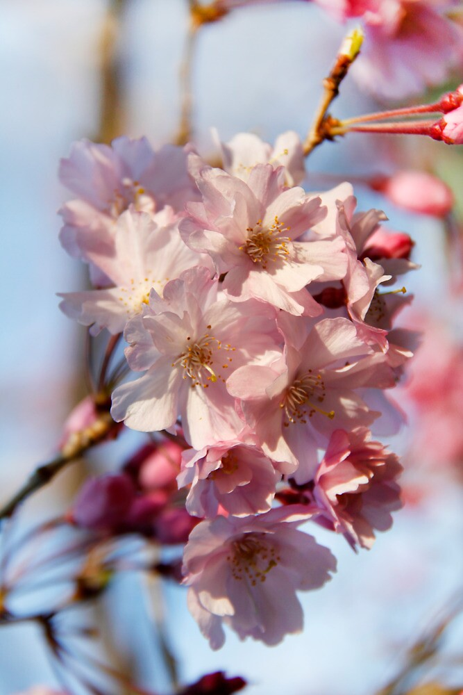 Weeping Cherry by Jay Reed