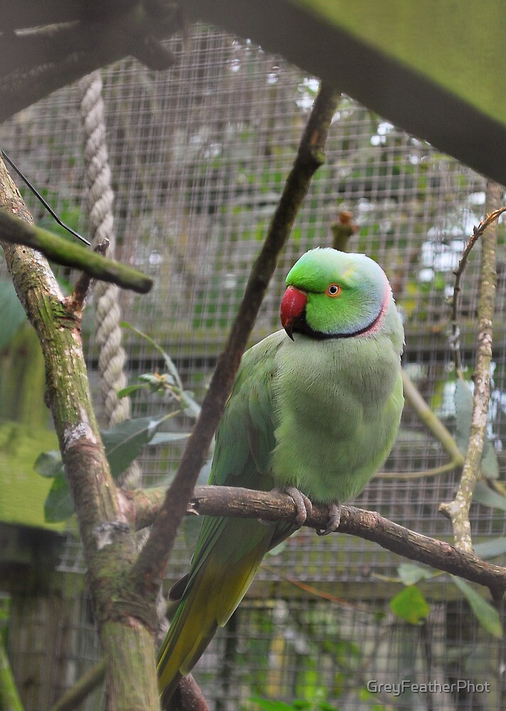 Ring Necked Parakeet  by GreyFeatherPhot