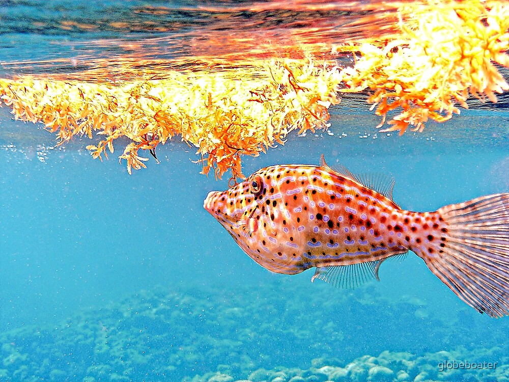 File Fish by globeboater
