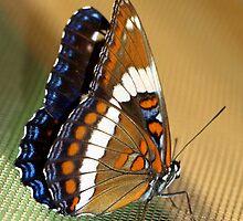 Beautiful Butterfly by vette