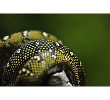 Pythons in a twist Photographic Print