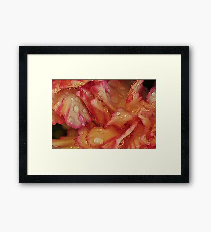 Water on the petals Framed Print