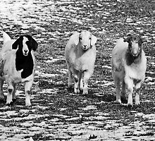 Three Goats B&W by mcstory
