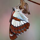 Limenitis reducta 2 by jimmy hoffman