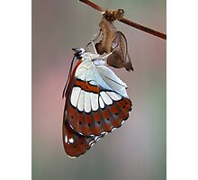 Limenitis reducta 2 Photographic Print