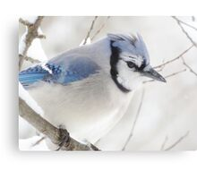 Not Another Blue Jay!!!! Canvas Print