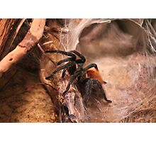 RED KNEE SPIDER  Photographic Print
