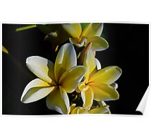 Yellow Plumeria In The Dark Poster