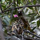 Western Bower Bird -  territorial dispute - 1 by john  Lenagan