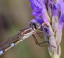 Damsel on Lavender by Gabrielle  Lees