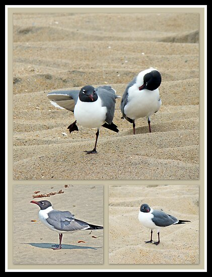 Laughing Gulls - Leucophaeus atricilla  by MotherNature