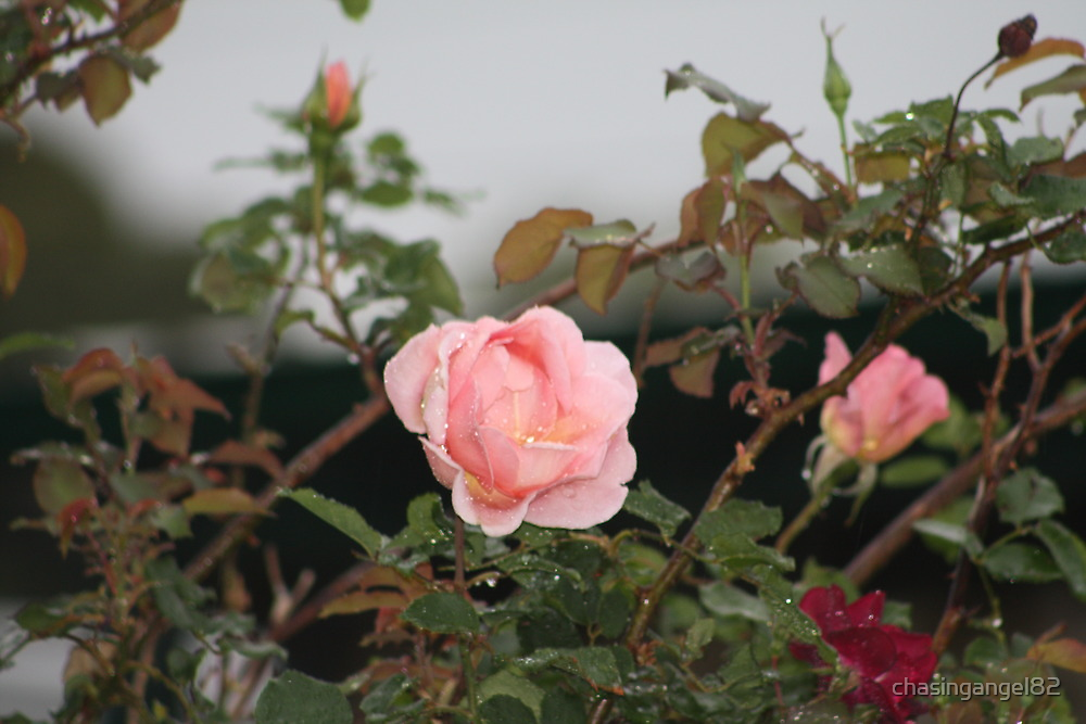 A Rose in bloom by chasingangel82