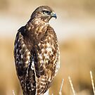 Red-tailed Hawk: Hunting the Ditch Banks by John Williams