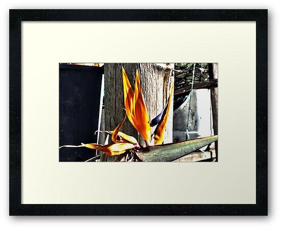 Bird of Paradise - final days by Mark Batten-O'Donohoe