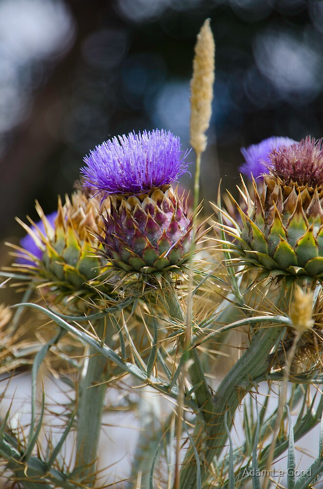 Artichoke Thistle by Adam Le Good