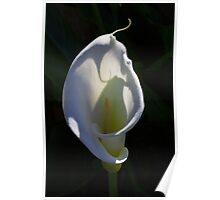 Calla-Lilly 01 Poster
