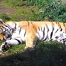 Tiger Napping by teresa731