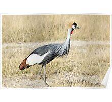 Grey Crowned Crane Poster
