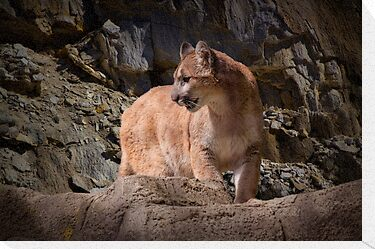 Mountain Lion on the Prowl by Randall Nyhof