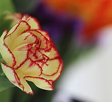 Carnation by John Velocci