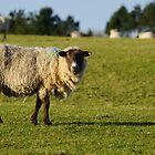 Pregnant Sheep In February 4 by glynk