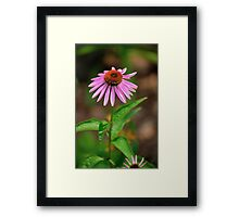 Echinacia purpurea 2 Framed Print