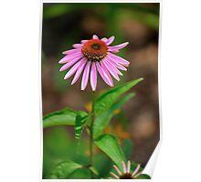 Echinacia purpurea 2 Poster
