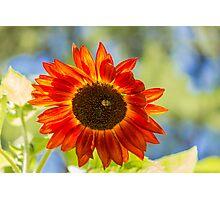 Sunflower 5 Photographic Print