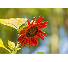 Sunflower 6 Photographic Print