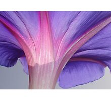 Macro of a Pale Lilac and Pink Morning Glory Photographic Print