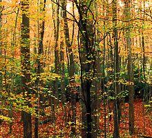 HARDWOOD FOREST,AUTUMN by Chuck Wickham