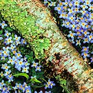 THYME-LEAVED BLUETS by Chuck Wickham