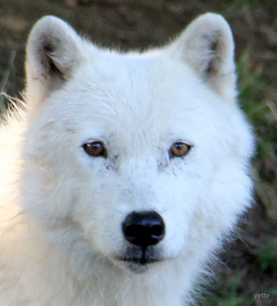 Beautiful Face of an Arctic Wolf by vette