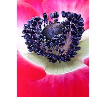 Red Anemone.... Photographic Print