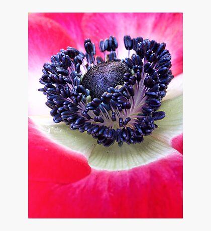 Red Anemone.... Photographic Print