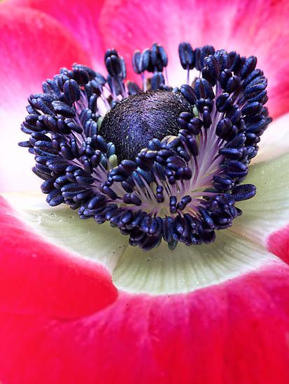Red Anemone.... by Bob Daalder