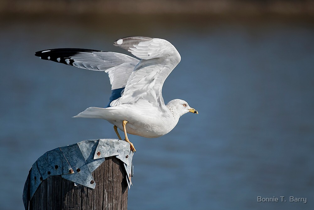Seagull lifting off by Bonnie T.  Barry