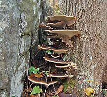 Turkey Tail Bracket Fungus - Basidiomycota by MotherNature2