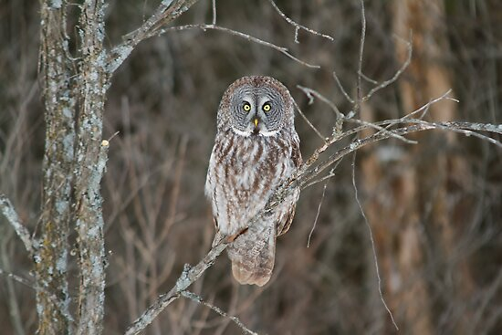 Great Great Owl - Ottawa, Canada by Josef Pittner