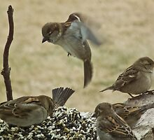 Sparrow Hovering Over Seed Cake by Deb Fedeler