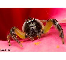 (Mopsus mormon male) Jumping Spider Photographic Print