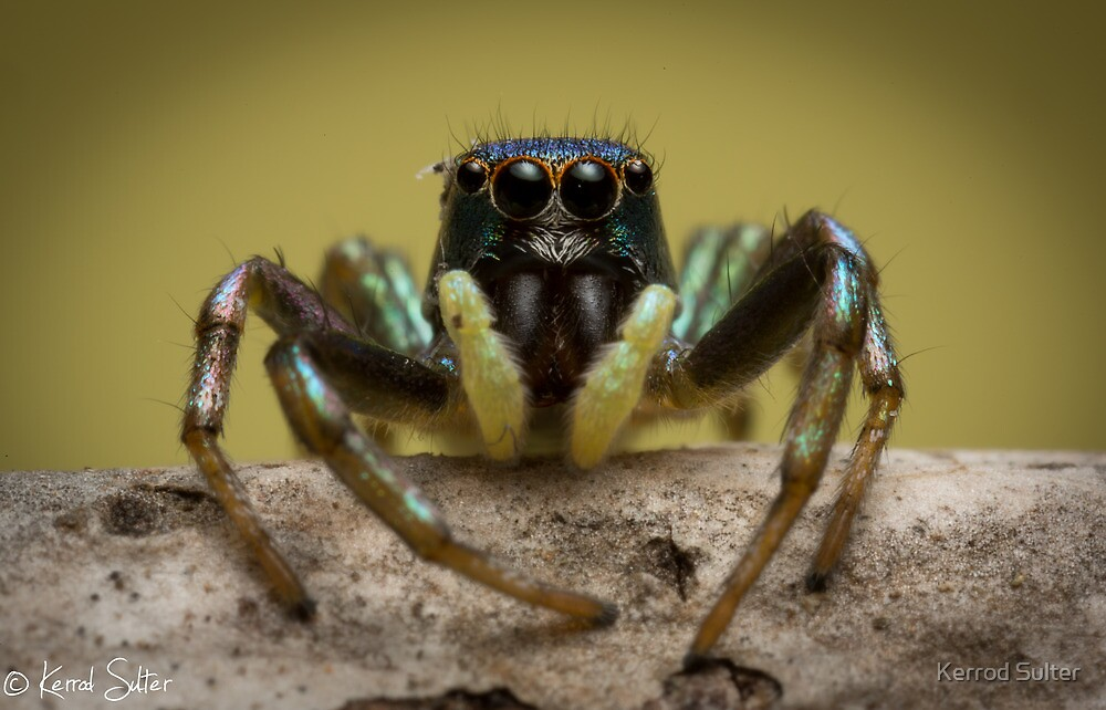 (species ZZ051) Jumping Spider by Kerrod Sulter