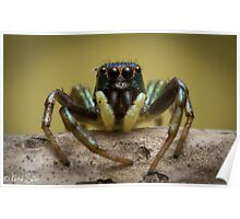 (species ZZ051) Jumping Spider Poster