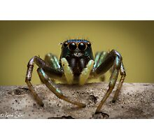 (species ZZ051) Jumping Spider Photographic Print